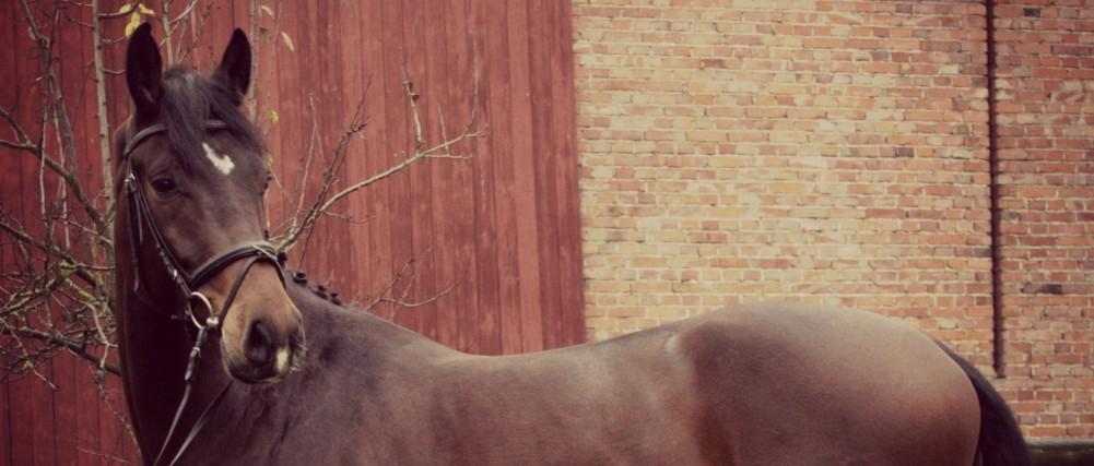 Exterieur / Außenansicht vom Holsteiner Consuelo am 18.11.2012 in Eschenbruch, Fotografin Saskia Biesgen
