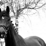 Eschenbruch, 18.11.12 Consuelo Holsteiner Turnierpferd
