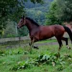 Eschenbruch, 25.09.13 Holsteiner Turnierpferd Consuelo auf der Wiese
