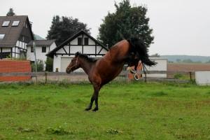 Eschenbruch, 27.09.13 Consuelo Bocksprung