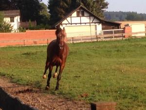 Consuelo genießt die Freiheit nach dem erfolgreichen Turnier in Steinheim, 26.07.14