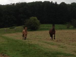 Consuelo entspannt sich auf der Weide mit seinem Kumpel, 17.08.14